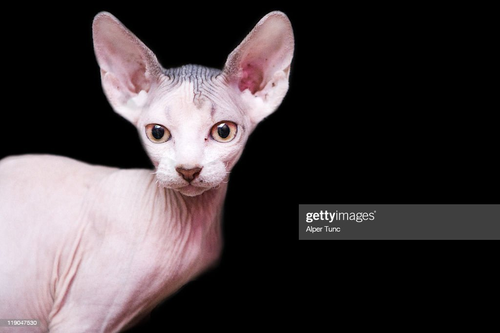 sphynx kitten sweet cute hairless pet cat : Stock Photo