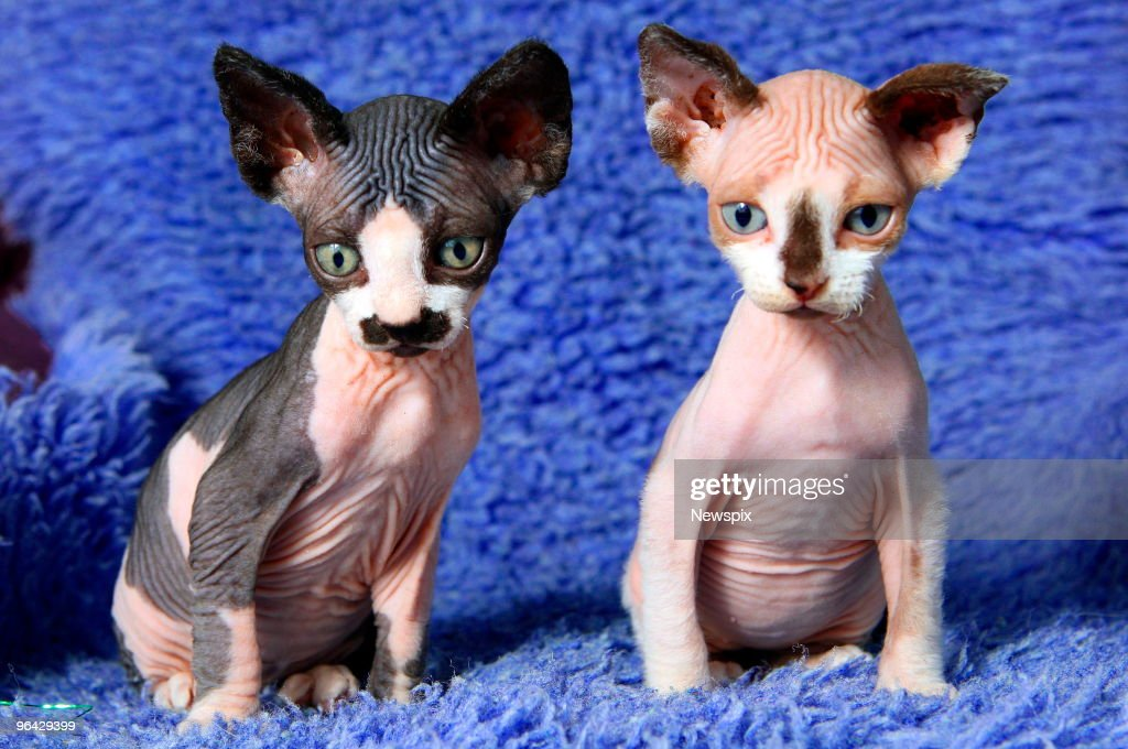 Sphynx kittens from the Surreal Cattery, owned by Sharron