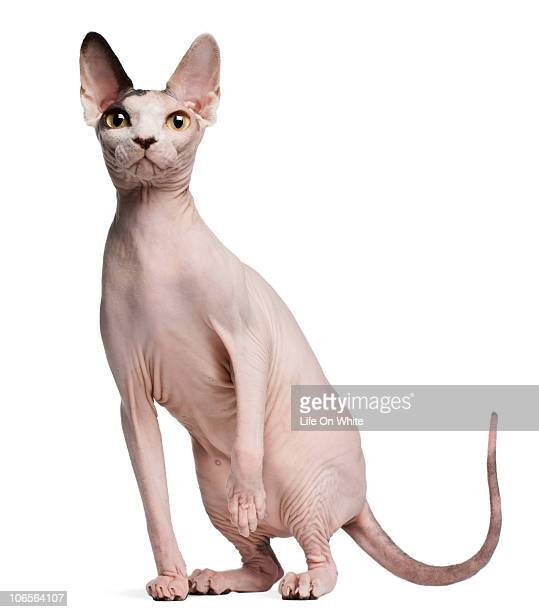 sphynx (13 months old) - sphynx hairless cat stock photos and pictures