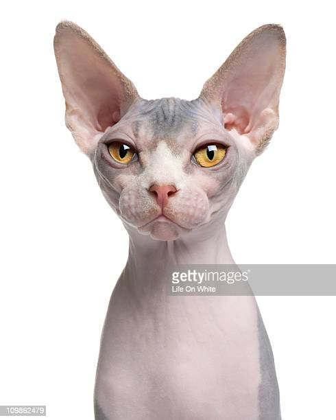 sphynx (7 months old) - purebred cat stock pictures, royalty-free photos & images