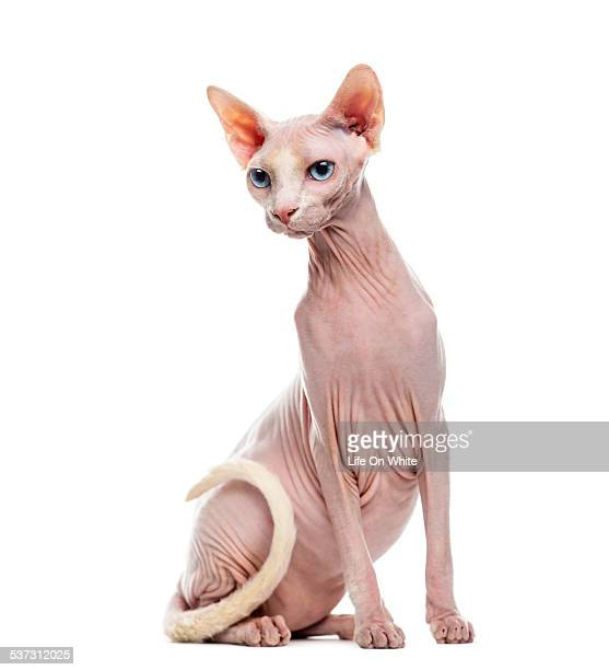 sphynx - sphynx hairless cat stock photos and pictures