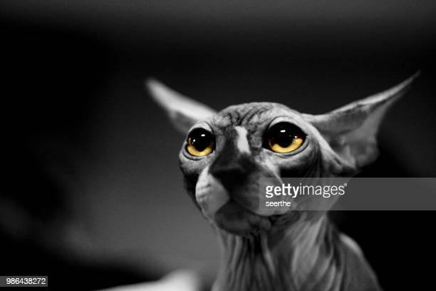sphynx - felino fotografías e imágenes de stock