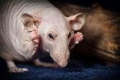 Sphynx rat grimace