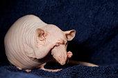 Sphynx rat shame