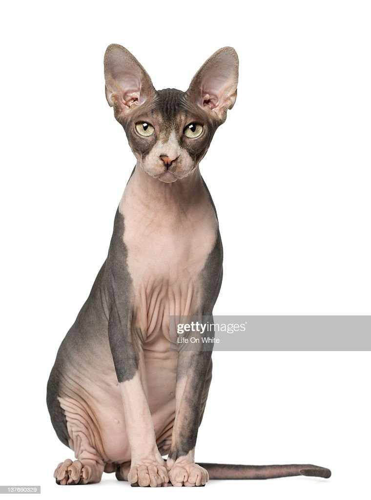 Sphynx (7 months old) sitting : Stock Photo