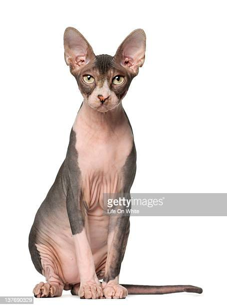 sphynx (7 months old) sitting - sphynx hairless cat stock photos and pictures