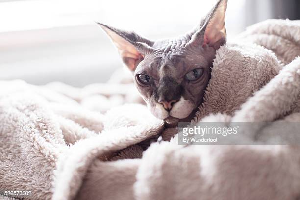 Sphynxcat wrapped in a blanket looking at the camera