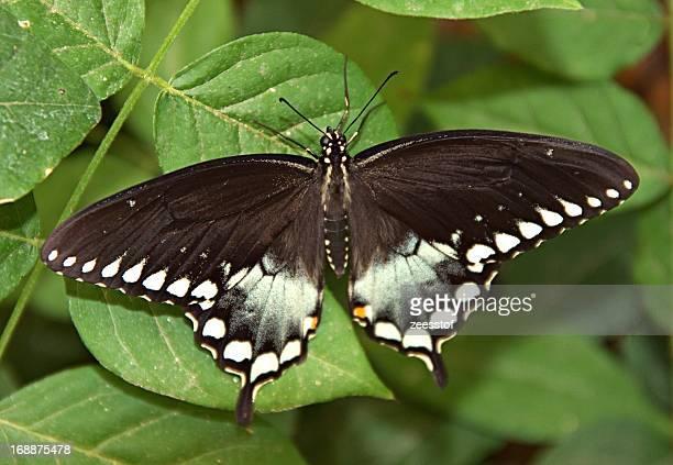Spicebush sSwallowtail (Papilio troilus)