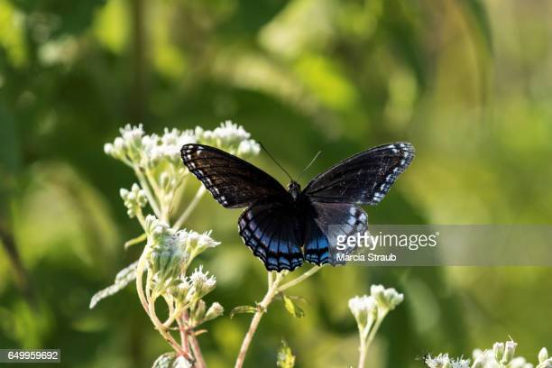 Spicebush Swallowtail  Butterfly among  the Flowers