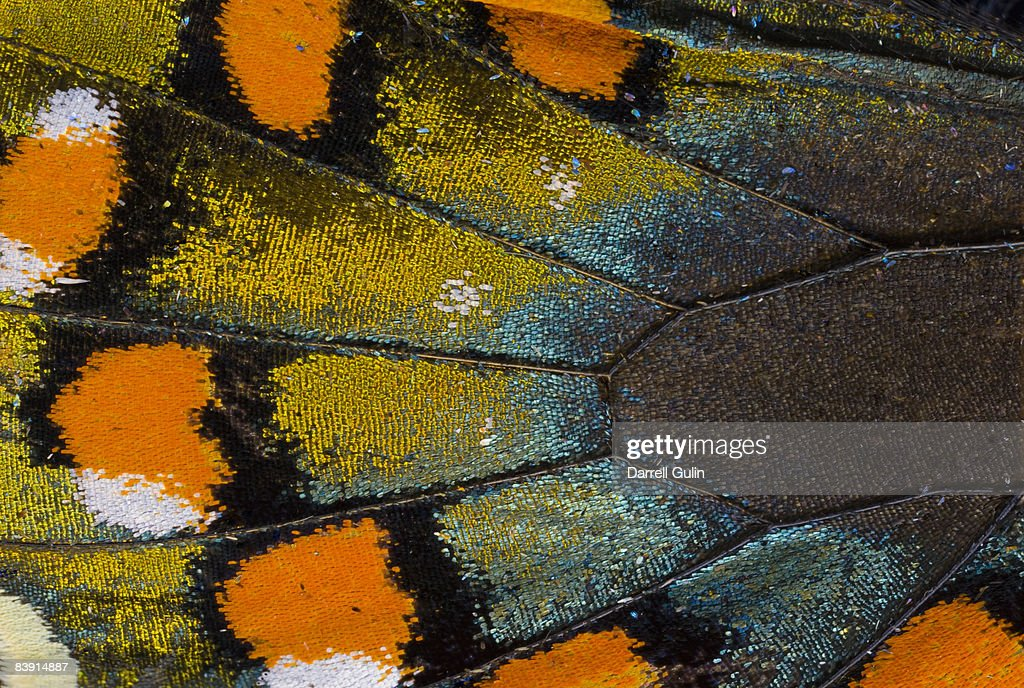 Spicebush Swallowtail butterfly wing scale details : Stock Photo
