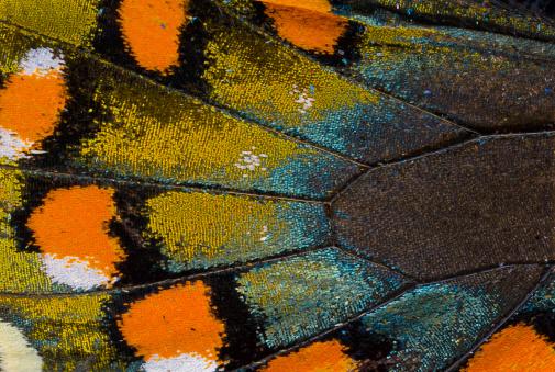 Spicebush Swallowtail butterfly wing scale details - gettyimageskorea