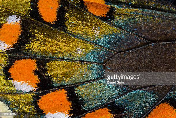 spicebush swallowtail butterfly wing scale details - schmetterling stock-fotos und bilder