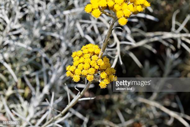 Spices Helichrysum italicum curry plant