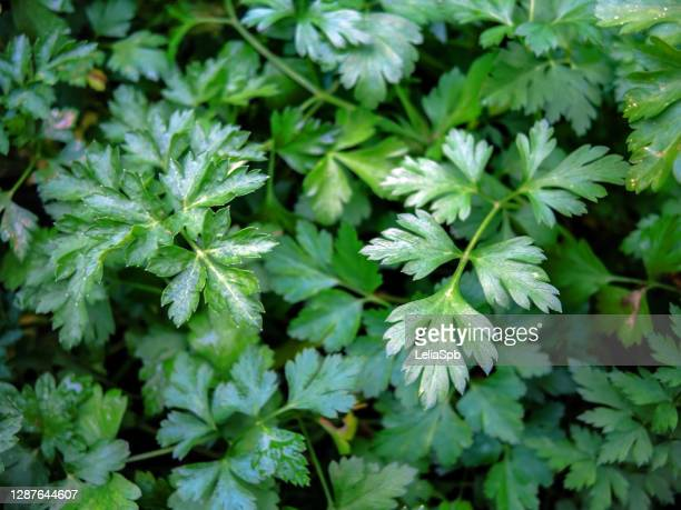 spicy herbs - parsley in the garden in late autumn - flat leaf parsley stock pictures, royalty-free photos & images