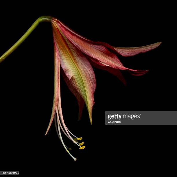 spider belladonnalilien isoliert auf einem schwarzen hintergrund. - ogphoto stock-fotos und bilder
