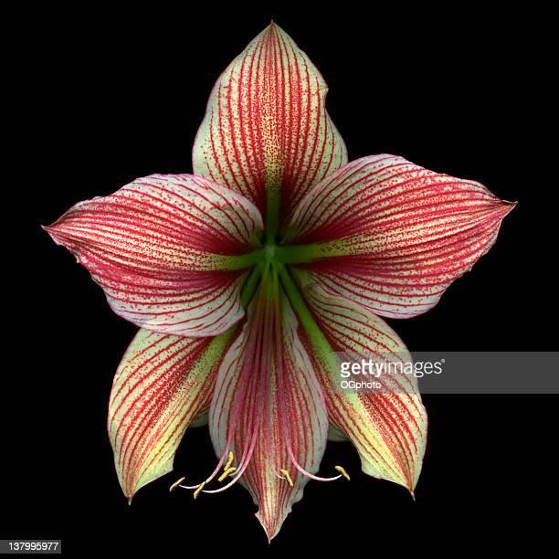 spider amaryllis - ogphoto stockfoto's en -beelden