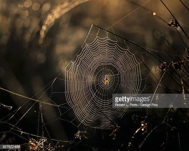 a spider and it's web catch the sunlight - ニワオニグモ ストックフォトと画像