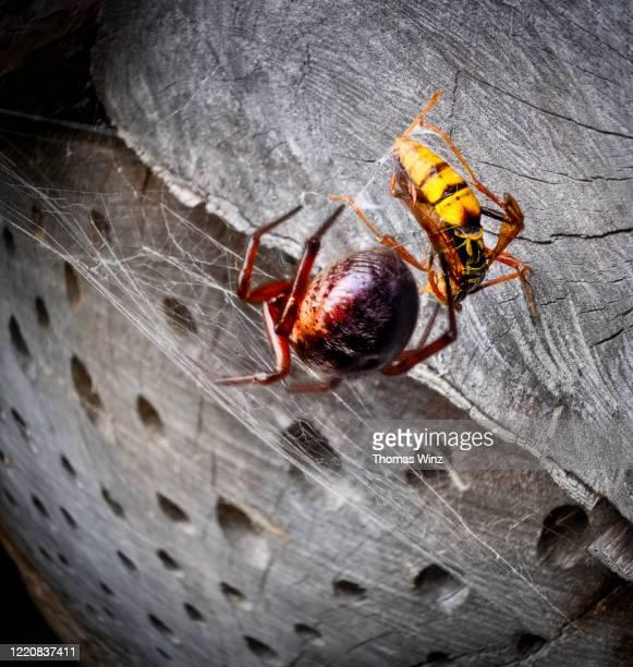 spider and wasp trapped in a spider web - nido di vespe foto e immagini stock