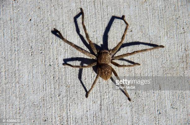spider casts a shadow on a concrete footpath in canberra, australian capital territory, australia - huntsman spider stock pictures, royalty-free photos & images