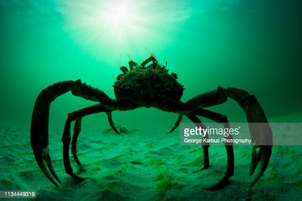 spider crab, aran islands, ireland - sea stock pictures, royalty-free photos & images