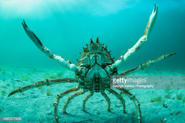 spider crab in fighting pose, inishmore, aran islands, ireland - spider crab stock photos and pictures