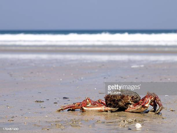 Spider Crab on a beach in Cornwall England United Kingdom