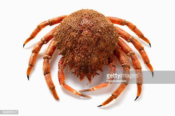 spider crab - spider crab stock photos and pictures