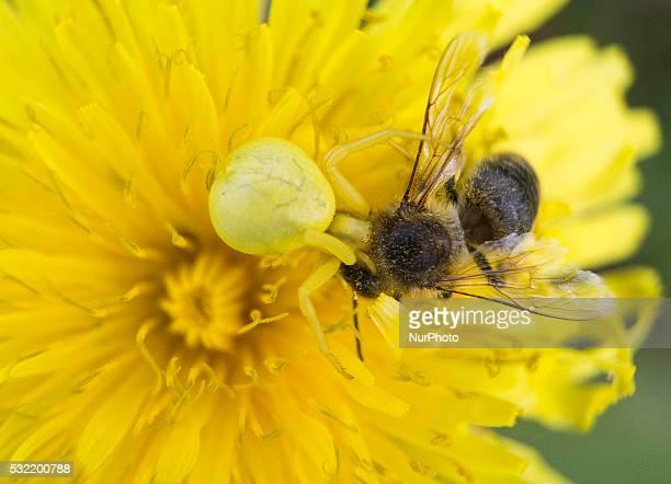 Spider eats bee on a flower 18 May Banie Mazurskie Poland
