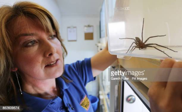 Spider expert Angela Hale views a seveninchlong huntsman spider common to Australia which was discovered in a delivery at the Seventies BMX...
