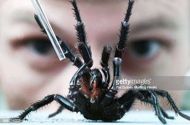 Spider expert Rob Porter from the Australian Reptile Park milks a male Sydney Funnel Web spider 29 January 2001 SMH Picture by ANDREW TAYLOR