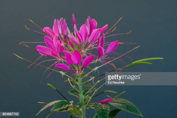spider flower (cleome hasseleriana) - ed reschke photography stock photos and pictures