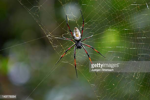 spider Golden silk orb-weaver, Nephila