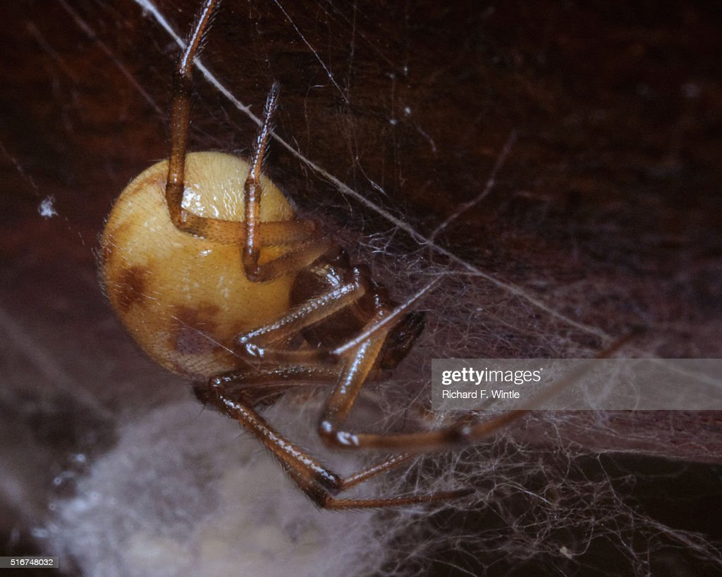 Spider guarding an egg sac in a cobweb : Stock Photo