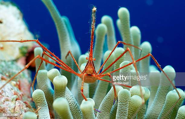 Spider hermit crab Stenorhynchus seticornis Netherlands Antilles Bonaire Caribbean Sea