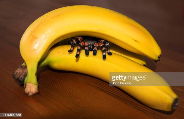 spider in bananas - april fools day stock pictures, royalty-free photos & images