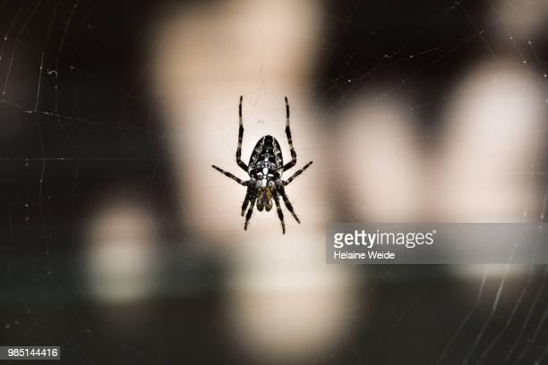 spider in sunlight - ニワオニグモ ストックフォトと画像
