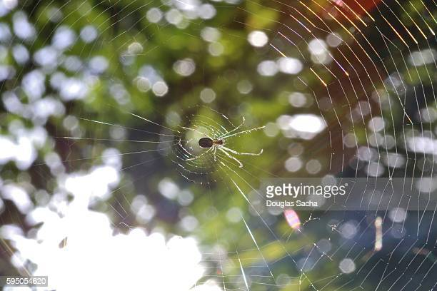 Spider insect waits for its prey, Leucauge venusta spider (Orchard Orbweaver)