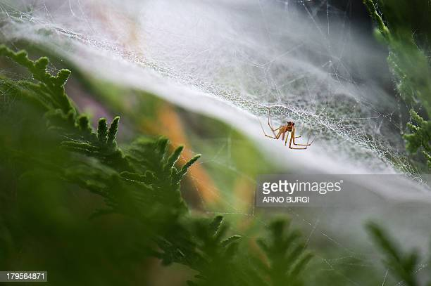 A spider is pictured in a spider web covered with morning dew in a garden in Dresden eastern Germany on September 5 2013 AFP PHOTO / DPA / ARNO BURGI...