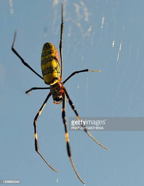 A spider is pictured in its web at Budar village around 600 kilometres west of Kathmandu on November 21 2011 AFP PHOTO/Prakash MATHEMA