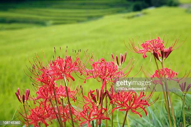 Spider lilies, Nara Prefecture, Honshu, Japan