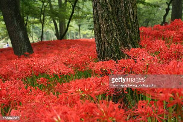 spider lilies. - amaryllis stock pictures, royalty-free photos & images