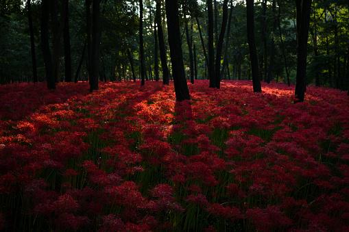 Spider lily field - gettyimageskorea