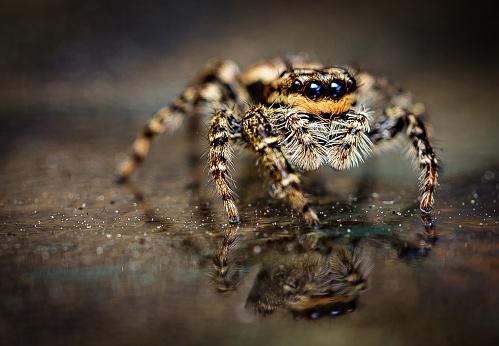 Spider Marpissa muscosa 809105500