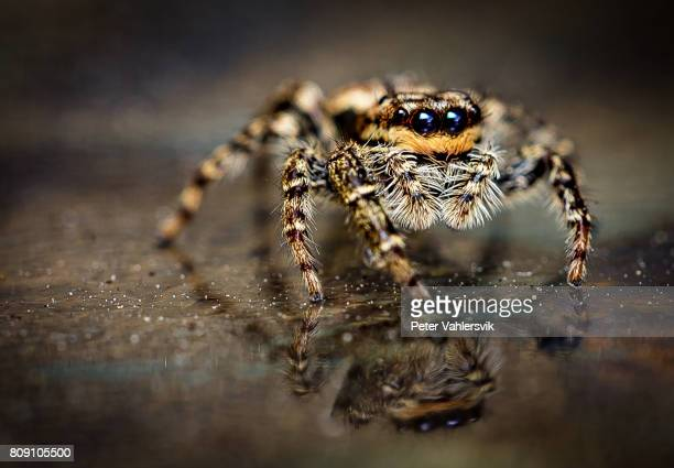 spider marpissa muscosa - big eyes stock photos and pictures