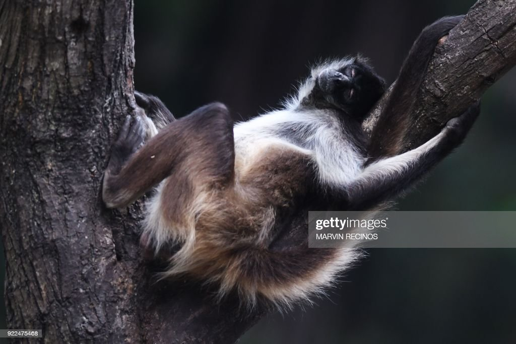 EL SALVADOR-ANIMAL-ZOO-SPIDER-MONKEY : News Photo