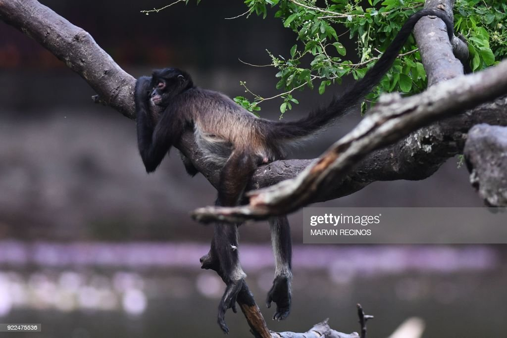 A spider monkey (Ateles geoffroyi) is pictured at the National Zoo in San Salvador on February 21, 2018. /