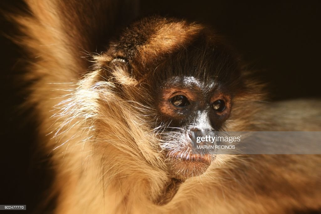 EL SALVADOR-ANIMAL-ZOO-SPIDER-MONKEY : Nachrichtenfoto