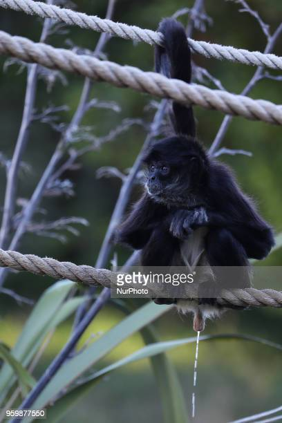 A spider monkey pees while sitting on a rope at Orana Wildlife Park in Christchurch New Zealand on May 18 2018 New Zealand's only openrange zoo...