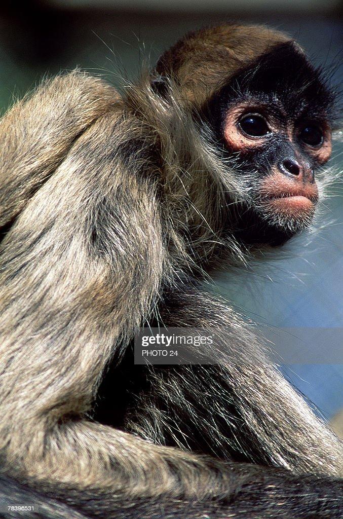 Spider monkey : Stock-Foto