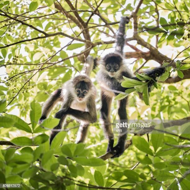 Spider Monkeys, Costa Rica